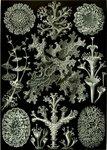 Haeckel_Lichenes.jpg